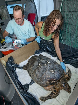 Tom Luebke (à esquerda) e Bette Zirkelbach examinando uma tartaruga-marinha (Foto: Andy Newman/Florida Keys News Bureau/AP)