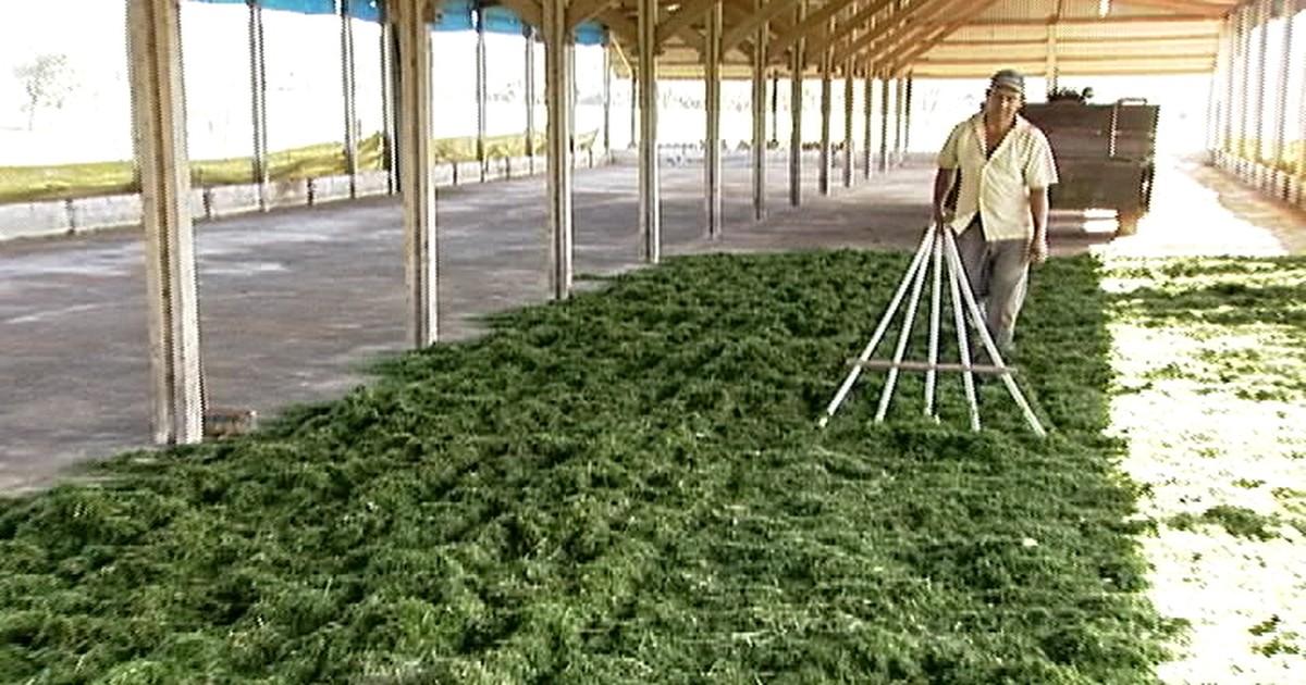 f36f483438 Agronegócios - Capim pré-secado é alternativa para alimentar o gado durante  a estiagem