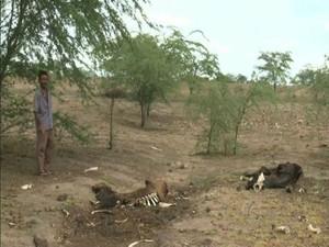 Criador perde gados por causa da seca em Olho D'Água do casado em Alagoas. (Foto: Reprodução/TV Gazeta)