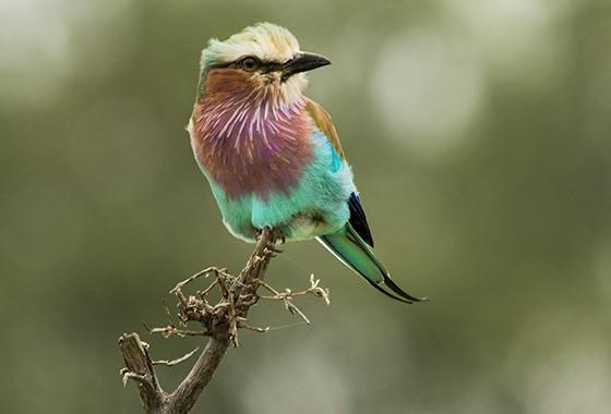 O roleiro-de-peito-lilás passa a maior parte do tempo pousado à espera de insetos voadores (Lilac-breasted roller, Coracias caudatus) (Foto: © Haroldo Castro/Época)