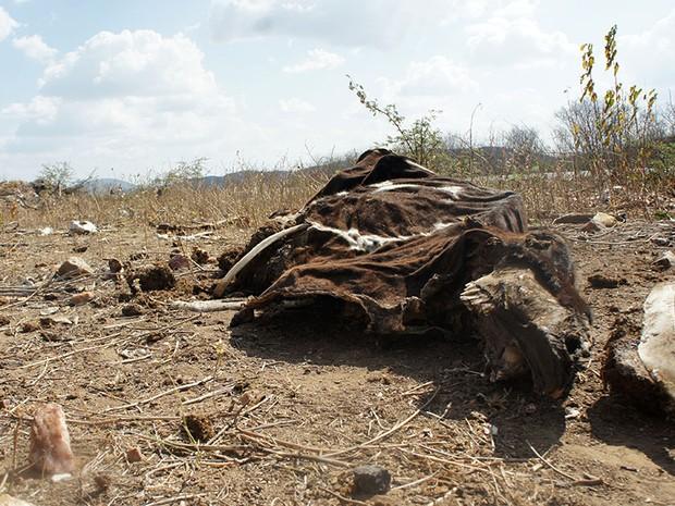 Seca que assola o interior do Rio Grande do Norte vem causando a morte de muitos animais e prejuízos para economia do estado (Foto: Anderson Barbosa/G1)