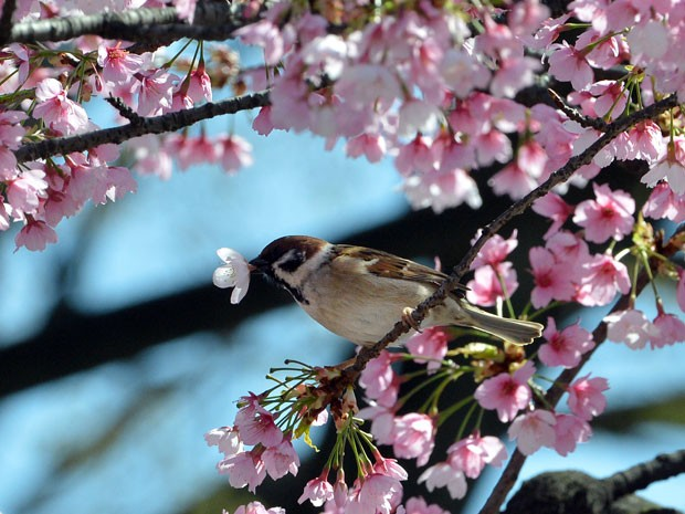 Flores de cerejeira em Tóquio, no Japão (Foto: Yoshikazu Tsuno/AFP Photo)