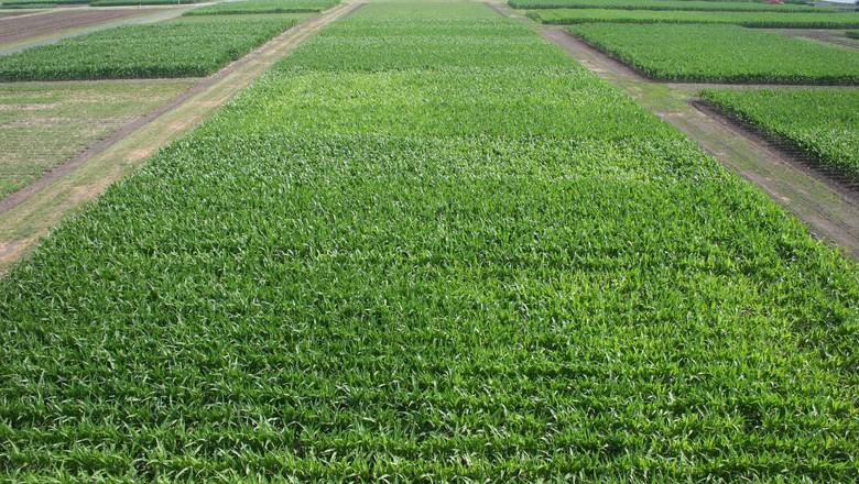 agricultura-campo-monsanto (Foto: Divulgação/Monsanto)
