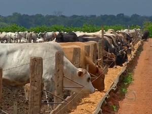 Pecuária intensiva em Mato Grosso (Foto: Reprodução TVCA)