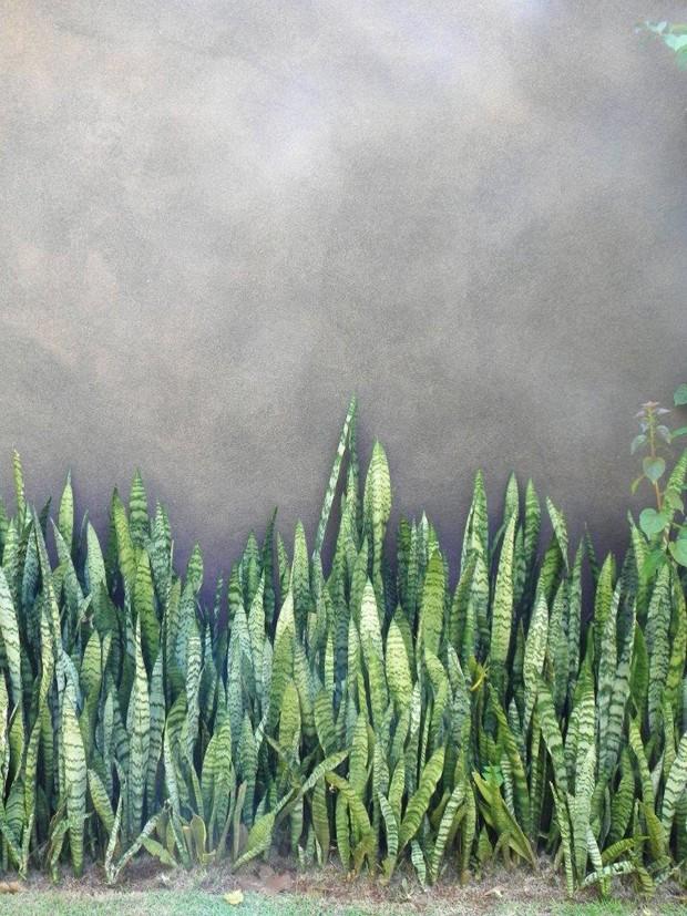 espada-de-são-jorge (Foto: Divulgação)