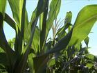 Agricultores do PR vivem um bom momento com o milho e a soja