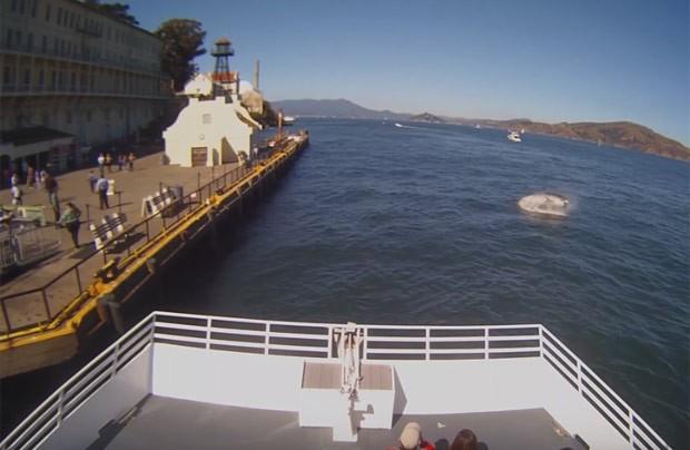 É a primeira vez que um tubarão branco é filmado caçando na baía (Foto: Reprodução/YouTube/Hornblower Cruises & Events)