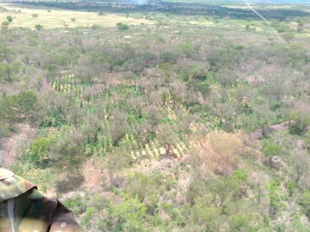Maconha foi erradicada em cidades do norte da Bahia, durante operação da PF (Foto: Divulgação/ PF)