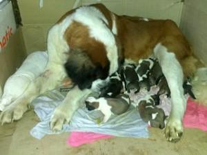 São Bernardo teve 20 filhotes; destes, 11 sobreviveram (Foto: Ana Cláudia Klein/Arquivo Pessoal)