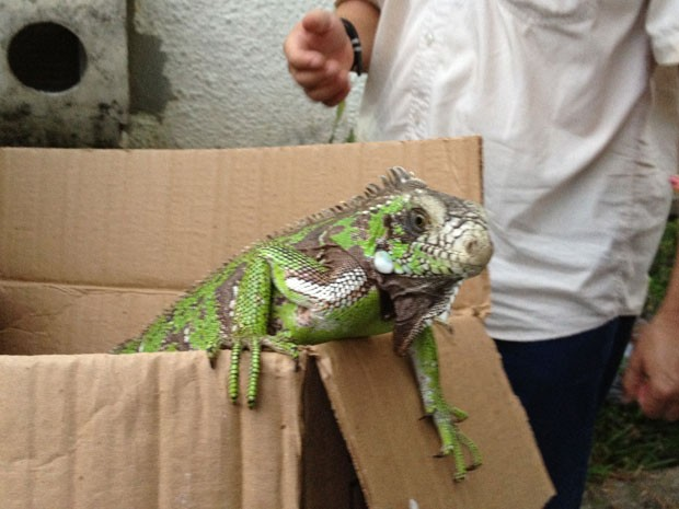 Iguana capturado nas dunas já foi solto em Natal (Foto: Homero Medeiros)