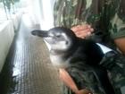 Em dois dias, mais dez pinguins aparecem em praias do litoral de SP