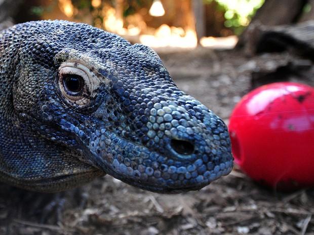Raja, um dragão de Komodo de 12 anos de idade, recebe uma bola recheada com seus alimentos favoritos no Zoológico de Londres, na Inglaterra. (Foto: Carl Court/AFP)