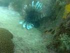 Peixe raro no Brasil é encontrado no mar de Arraial do Cabo, no RJ