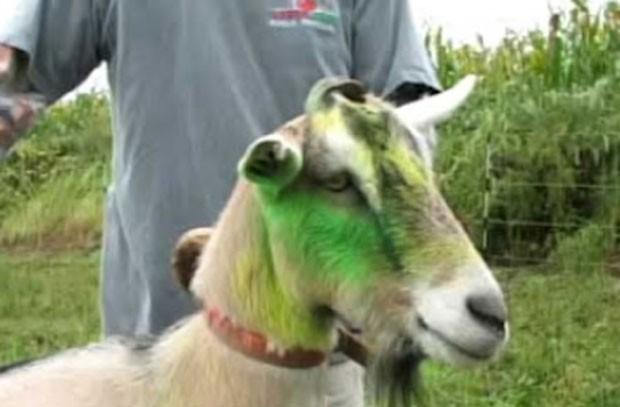 Bode chamado 'Josh' foi pichado com tinta verde e amarela em seu rosto. (Foto: Reprodução)