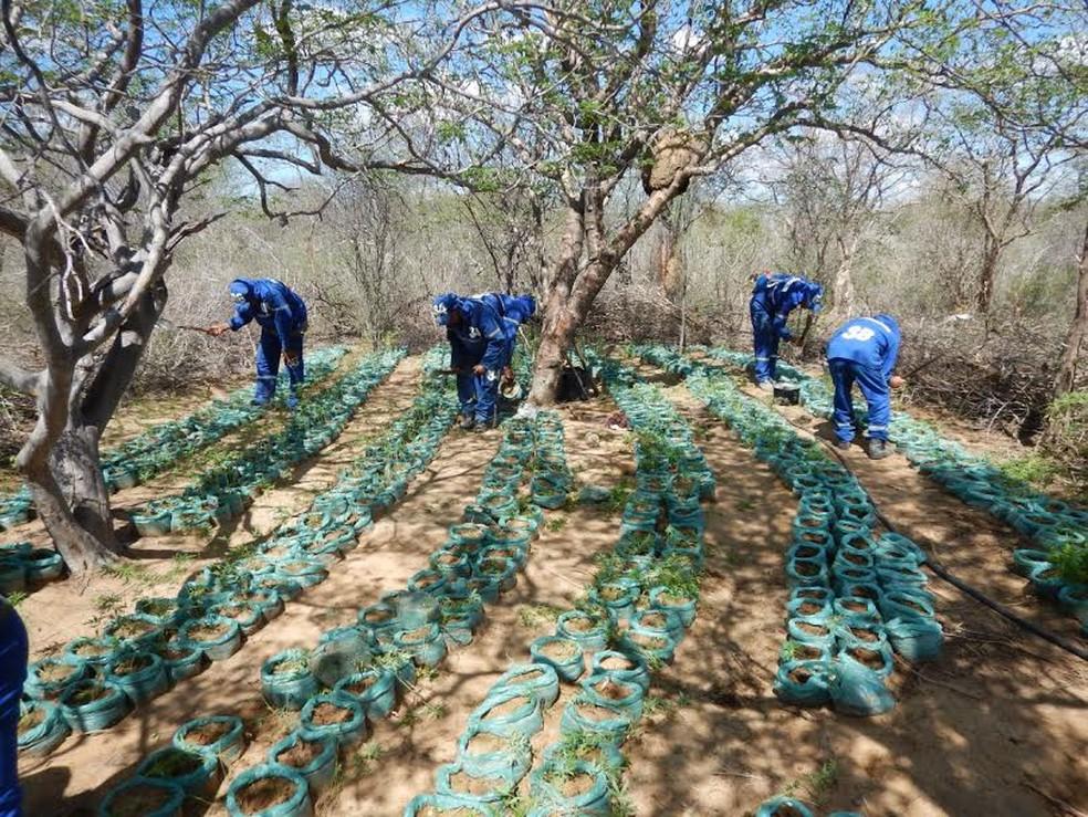 Plantação, mudas e plantios foram erradicados (Foto: Divulgação / Polícia Federal)