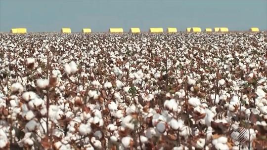 Oeste da BA usa tecnologia para se manter no topo do plantio de algodão