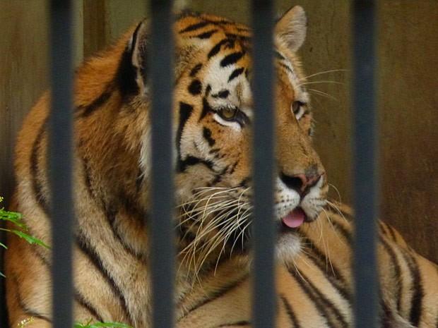 O tigre deixa Felipe apavorado (Foto: Guerra dos Sexos / TV Globo)