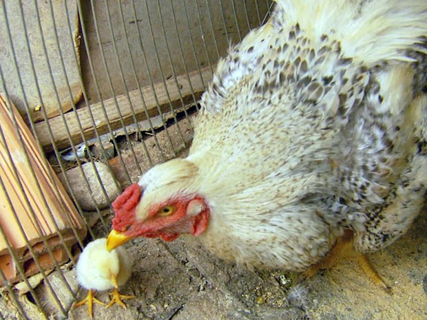g1 após chocar ovo galo deixa de cantar para cuidar do filhote em