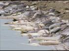 Calor pode ter causado mortandade de peixes no Rio Tietê, em SP