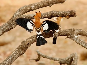 African hoopoe - Terra da Gente (Foto: Claudia Komesu/ Vc no TG)