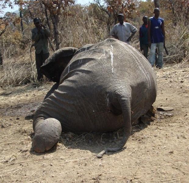 Elefante morto por caçadores ilegais em Camarões (Foto: Divulgação/Bouba N'Djida/WWF)