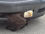 Águia fica presa em para-choque de carro nos EUA