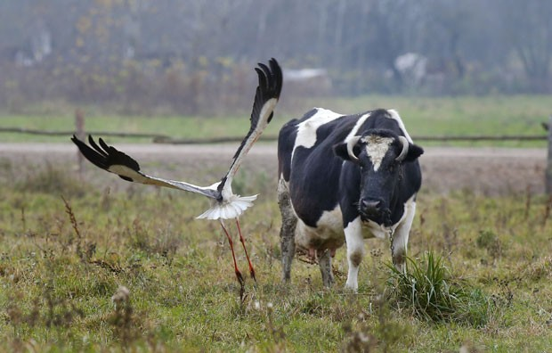 Vaca e cegonha foram fotografadas 'se encarando' em uma pastagem perto da aldeia de Slonevo, a 135 km da capital Minsk, em Belarus (Foto: Sergei Grits/AP)