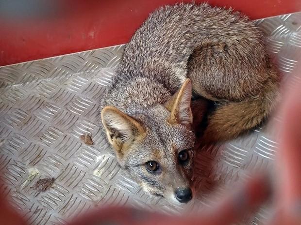 Filhote de raposa é encontrado nos fundos de restaurante em Três Corações (Foto: Reprodução EPTV)