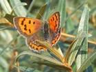 Borboletas fêmeas fecham as asas para evitar sexo, diz estudo