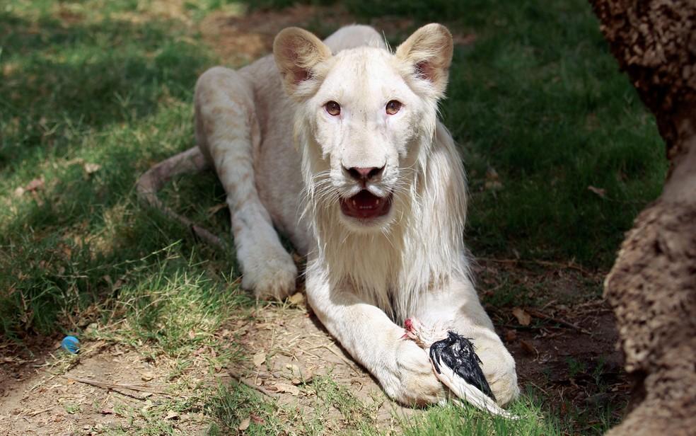 Filhote de leão branco come um pássaro morto no zoo Al Zawra, em Bagdá, no Iraque, em foto de 15 de junho (Foto: Reuters/Khalid al-Mousily)