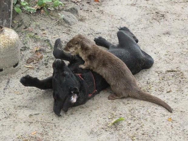 Amizade de lontra e cadela começou quando eram filhotes (Foto: Arquivo Pessoal / Alfredinho Bertioga)