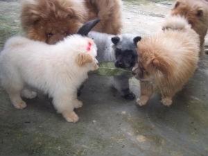 Filhote de Chow-Chow brinca com filhotes da mesma ninhada (Foto: Rosymeire Baptista)