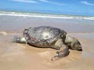 Tartaruga marinha encontrada na praia do Bessa tinha 50 anos de idade e mais de um metro de casco (Foto: Walter Paparazzo/G1)