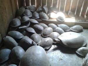 A maioria das tartarugas foi encontrada em um cativeiro (Foto: Divulgação/ Polícia Militar)