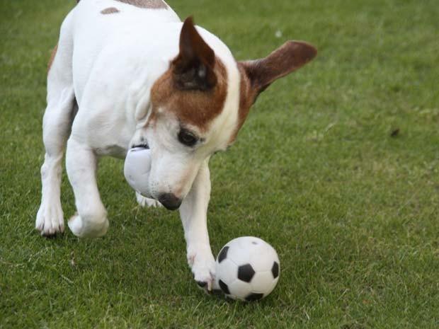 Em 2010, o cão chamado 'Jack' chamou atenção em Inverurie, na Escócia, por saber jogar futebol. Segundo o proprietário do animal, 'Jack' sabe driblar e cabecear  (Foto: Barcroft Media/Getty Images)