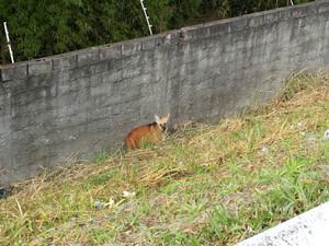 Lobo-guará próximo ao muro do CTA. (Foto: Arquivo pessoal/Franco Ripoll Leite)