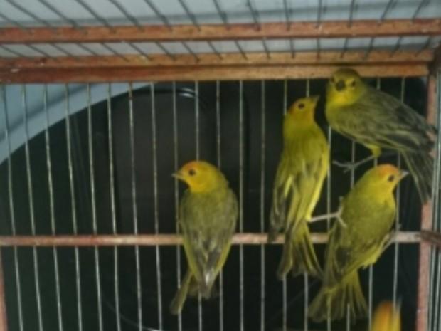 PF prende 3 por tráfico de aves silvestres em Aparecida de Goiânia (Foto: Reprodução/TV Anhanguera)