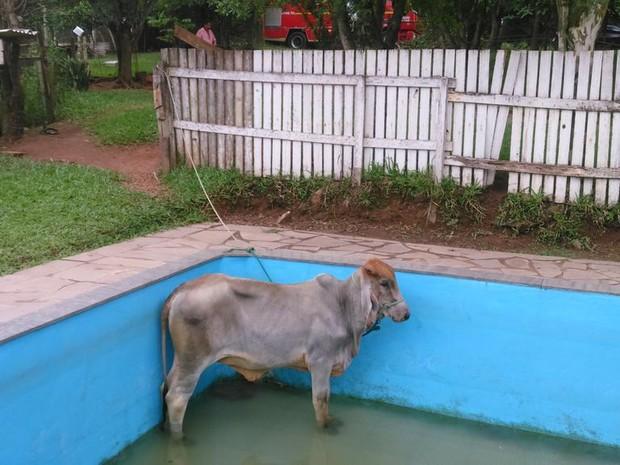 Boi caiu em piscina de 1,8 m de profundidade (Foto: Corpo de Bombeiros/Divulgação)