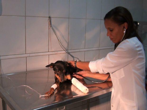 Cachorro resgatado em canal do Rio Camurijipe em Salvador recebe tratamento em clínica (Foto: Imagem / TV Bahia)