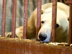 Urso é enjaulado (Foto: Reprodução)