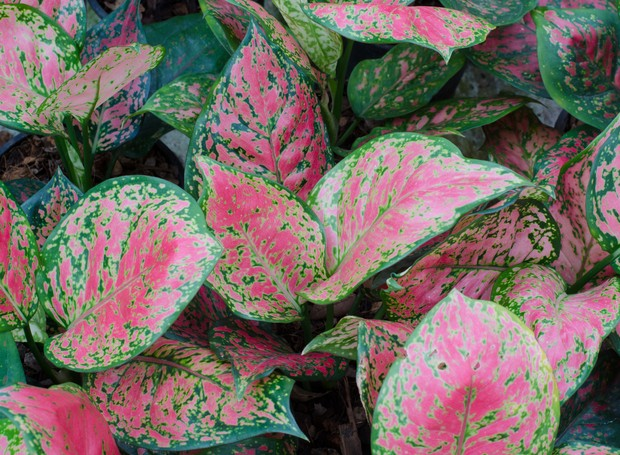 Aglaonema leaves background (Foto: Getty Images/iStockphoto)