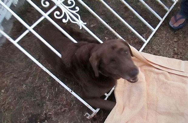 Labrador ficou com a cabeça entalada em um portão. (Foto: Divulgação/San Diego County)