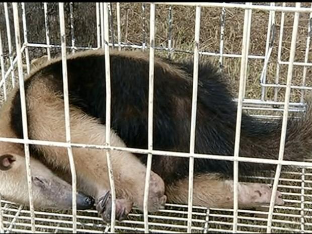 Tamanduá mirim dorme pouco antes de ser solto (Foto: Reprodução/TV Anhanguera)