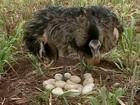 Agricultor encontra ninho com 25 ovos de ema em propriedade em MG