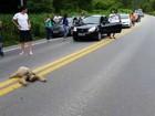 Bicho-preguiça para trânsito no ES ao atravessar BR-262; vídeo