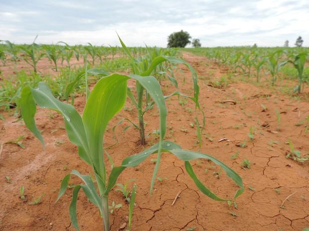 Muda agora se desenvolve em terra rachada pela seca (Foto: Ana Carolina Levorato/G1)