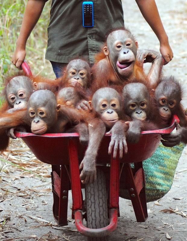 Exemplares de orangotango resgatados por ambientalistas vão frequentar escola para aprender hábitos selvagens e, com isso, sobreviverem na floresta  (Foto: Caters News/The Grosby Group)