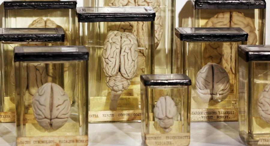 Não importa se são humanos, macacos ou elefantes. Os cérebros possuem dobras (Foto: Peter Macdiarmid/Getty Images)