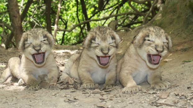 Cuidar de filhotes abandonados é também uma atribuição da polícia florestal  (Foto: Parque Florestal Nacional de Gir)