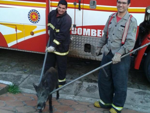 Javali é capturado por bombeiros em Quaraí, RS (Foto: Dagmar Benites dos Santos/Arquivo Pessoal)